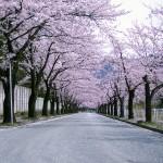 上山競馬場桜回廊