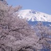 愛染神社桜