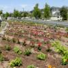 140504_3号公園花植え008